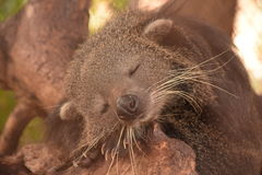 Sweet Dream Binturong Royalty Free Stock Photos