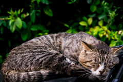 A sweet dream of lazy brown striped cat laying down on the car windshield Royalty Free Stock Photo