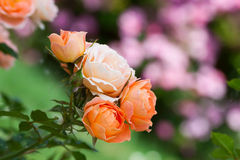 Sweet Dream rose. Macro photography of Sweet Dream rose stock image
