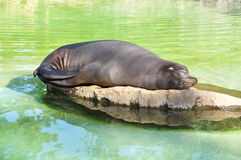 Sweet dream seal Royalty Free Stock Photos