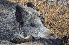 Sweet dream of wild boar. Wild boar sleeps and sweet dreaming - close up view Royalty Free Stock Photography