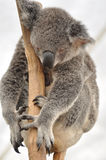 Koala Dreaming. Koala bear sleeping on eucalyptus tree stock images
