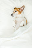 Sweet dreams adorable dog lying on white bed sheets. Happy relaxed lazy moments. Weekend mood Royalty Free Stock Image