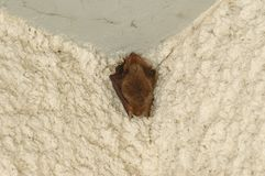 Sweet dreams, Batman!. Bat sleeping in the balcony during a day Royalty Free Stock Image