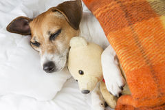 Sweet dreams. Beautiful smiling pleased little dog is sleeping in an embrace with a toy Teddy bear Royalty Free Stock Photos