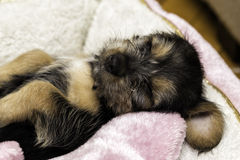 Sweet Dreams. A cute puppy sleeping, taking a rest Royalty Free Stock Image