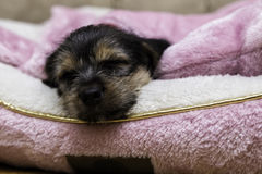 Sweet Dreams. A cute puppy sleeping, taking a rest Royalty Free Stock Photography