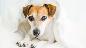 Sweet dreams dog Wishes you under white Comfortable bed linen. Lazy sleepy mood. Enjoy your rest time Stock Photography