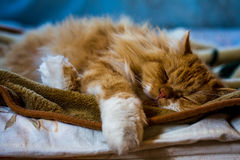 Sweet dreams. Fluffy red cat sleeping in bed Royalty Free Stock Photo