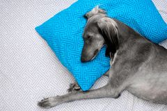 Sweet dreams of greyhound royalty free stock photography