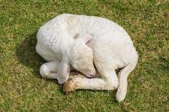 Sweet dreams lamb Stock Images