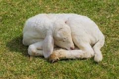 Sweet dreams lamb Stock Photos