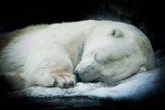 Sweet dreams of a polar bear, isolated on black background. Stock Images