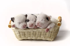 Sweet dreams. Three tiny newborn puppies in a basket Royalty Free Stock Photos