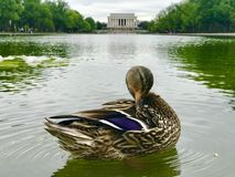 A sweet duck relaxing at reflecting pool in Washington, D.C. Lincoln memorial at background in Washington DC stock photography