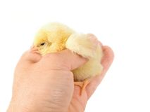 Sweet Easter chicks Stock Photography