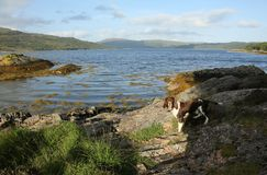 A sweet English Springer Dog Canis lupus familiaris standing at the edge of Loch Sunart in Scotland. A cute English Springer Dog Canis lupus familiaris standing stock photos