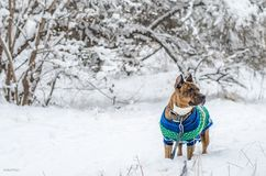 American staffordshire terrier outside in nature on a bed of snow. The dog wearing a winter knitted vest for staying warm during t Royalty Free Stock Photo