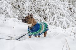American staffordshire terrier outside in nature on a bed of snow. The dog wearing a winter knitted vest for staying warm during t Royalty Free Stock Photography
