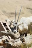 Sweet Expression on the Face of a White Oryx stock photography