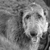 Sweet eyes. Irish Wolfhound portrait in black and white with incredible smooth eyes royalty free stock images