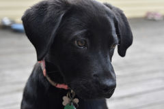 Sweet Face of a Black Lab Puppy Dog Stock Photos