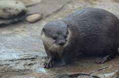 Sweet Face of a Giant River Otter on Rocks Stock Photography