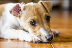 Sweet face of jack russel Royalty Free Stock Image