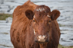 Sweet Faced Brown Cow in Ireland Stock Images