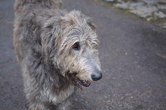Sweet Faced Irish Wolfhound Dog with Grey Fur Royalty Free Stock Images