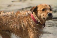 SANDY FACED BEACH DOG, ECUADOR Stock Photo