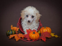 Sweet Fall Poodle Puppy Stock Photo