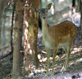Sweet  Fallow Deer. Sweet young fallow deer on natural background Royalty Free Stock Photos