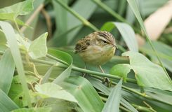 A cute fledgling Sedge Warbler Acrocephalus schoenobaenus perching on a reed in the reed bed. It is waiting for its parents to c Stock Photo