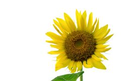 A beautiful sunflower blossom in botanical garden on white isolated background stock photos