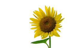 A beautiful Sunflower blossom on white isolated background royalty free stock images