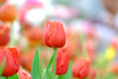 A red tulip flower blossom in botanical garden at glasshouse area stock image