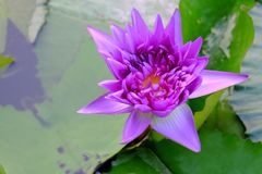 Purple lotus flower blossom in a swamp with large leaves stock photo