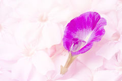 Sweet floral background, Blue flower on pink flowers background Stock Photo