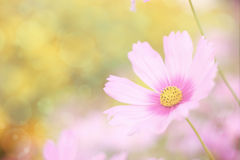 Sweet floral background, Pink cosmos flower with soft focus. Royalty Free Stock Image