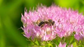 Sweet flower in honeyed bee honey. stock footage