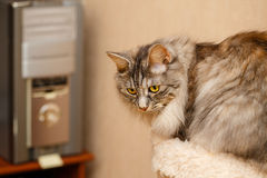 Sweet fluffy cat. Cute fluffy cat standing next to a feline house. Pets. Hypoallergenic breed of cats Stock Photo
