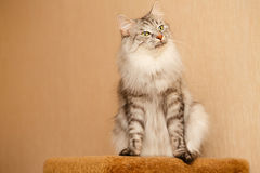 Fluffy cat. Sweet fluffy cat. Pets. Hypoallergenic breed of cats Royalty Free Stock Images
