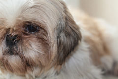 Sweet fluffy puppy. Chilling indoors stock photography