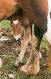 Sweet foal Royalty Free Stock Photo