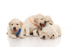 Sweet four puppies of golden retriever Royalty Free Stock Photo
