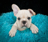 A sweet Frenchy Puppy. A very cute French Bulldog puppy sitting in a blue blanket on a black background Royalty Free Stock Photos
