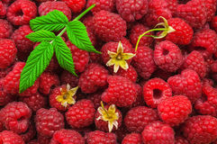 Sweet and fresh raspberry. As a texture Royalty Free Stock Photography