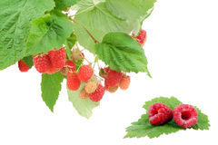 Sweet fresh raspberry fruit with green leaf. Isolated over white background Stock Photos