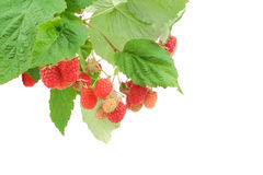 Sweet fresh raspberry fruit on white. Sweet fresh raspberry fruit  with green leaf Stock Images